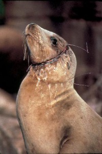 Bycatch-Sea-Lion-With-Monofilament-BTalbot-1990