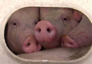 3-sweet-pigs-pig-save-copy-300x208