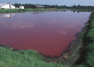 hog-waste-lagoon-e1419802588365