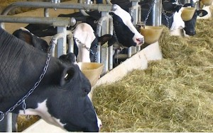 tie-stall-dairy-cows