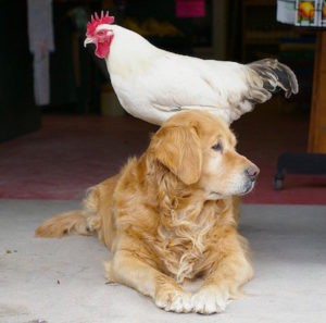 chicken-and-dog-friends-300x297